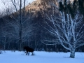 kv moose white leg