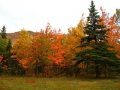 kv_20spruce_20tree