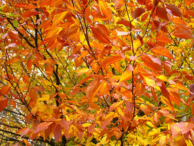 kv_20golden_20leaves